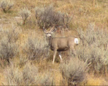 Stock Video Footage of Mule deer (Odocoileus hemionus) grazing between sagebrush