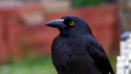 Stock Video Footage of Pied Currawong closeup 2