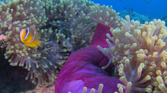 Stock Video Footage of Clownfish, Anemonefish, (Amphiprioninae), TWO CLIP IN ONE!