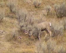 Mule deer (Odocoileus hemionus) grazing + on camera, showing its large ears Stock Footage