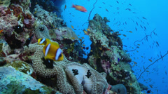 Stock Video Footage of Clownfish, Anemonefish, (Amphiprioninae)