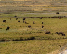 Creeks in Hayden Valley with bison herd grazing, autumn. Stock Footage