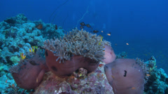 Clownfish, Anemonefish - Amphiprioninae, Red Sea Stock Footage