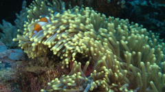 Clownfish, Anemonefish - Amphiprioninae, Red Sea, TWO CLIP IN ONE! Stock Footage
