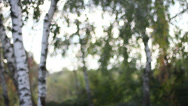 Stock Video Footage of The Birch Bokeh 2