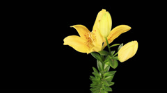 Blooming yellow lily flower buds ALPHA matte (Lilium Fifty Fifty), timelapse Stock Footage