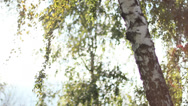 Background Birch Autumn 4 Stock Footage