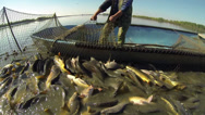 Stock Video Footage of Commercial Fishing - Fisherman Pulling Fishing Net