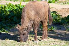 Shot of an aurochs Stock Photos