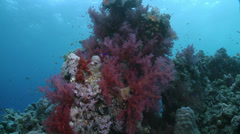 Purple soft corals in a coral garden - Red sea Stock Footage