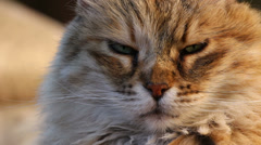 Cat stares into camera (close up) Stock Footage