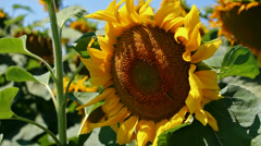 Bees on sunflower - stock footage