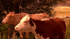 Free range organic longhorn texas cattle Stock Footage