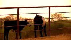 Free range organic longhorn texas cattle Stock Footage
