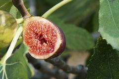 fig on tree between the leaves - stock photo