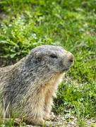colle dell'agnello: groundhog closeup - stock photo