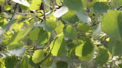Leaves of a tree fluttering on wind 9083 Stock Footage