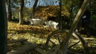 Stock Video Footage of old person with goats