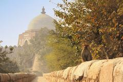 rhesus macaque sitting by mausoleum of ghiyath al-din tughluq, tughlaqabad fo - stock photo