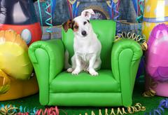 photos of carnival with a jack russell on a green armchair - stock photo