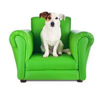 jack russell sitting on a green armchair - stock photo