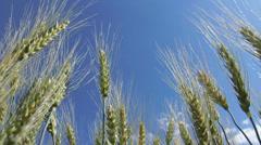 Green Wheat Ears against Blue Sky HD Stock Footage