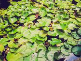 Stock Photo of retro look water lily nimphaea