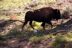 solitary male bison - stock photo