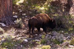 Solitary male bison Stock Photos