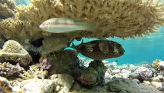 Spotbase burrfish under the coral Stock Footage