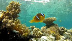 Anemone coral, clown fish and snorkelers Stock Footage