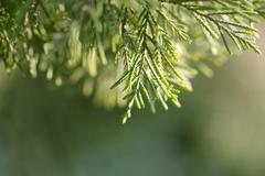 Arborvitae branch on the nature. macro Stock Photos