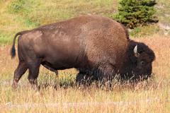 american bison (buffalo) - stock photo