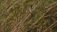 Dark-capped bulbul sitting on a reed and then flying away Stock Footage