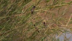 Three Dark-capped bulbul birds sitting on reeds Stock Footage