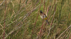 Dark-capped bulbul sitting on a reed Stock Footage