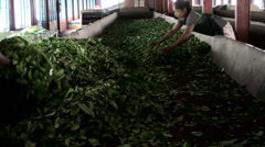 Oxidation and drying tea leaves at the Tea Factory. Sri Lanka. - stock footage