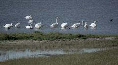 Swan in Denmark 3 Stock Footage