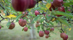 Closeup shot of Apples on a tree. - stock footage