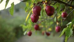 Closeup shot of Apples on a tree. Stock Footage