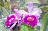 Stock Photo of beautiful purple orchid - phalaenopsis