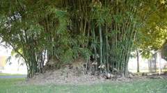 Tropical bamboo tree Stock Footage