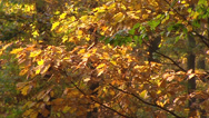 Stock Video Footage of European oak tree in autumn foliage - full screen