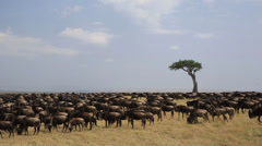 Wildebeest Herd Masses on Kenyan Plain Stock Footage
