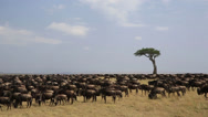 Stock Video Footage of Wildebeest Herd Masses on Kenyan Plain