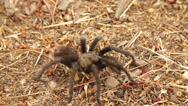 Stock Video Footage of Tarantula in 240fps