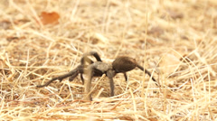 Tarantula Slow Motion - stock footage
