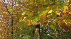 European oak forest in autumn foliage - close up branch + pan Stock Footage