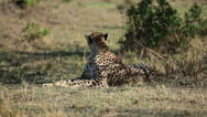 Stock Video Footage of Cheetah Sitting Near A Tree