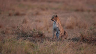 Stock Video Footage of Cheetah Sitting At Sunset